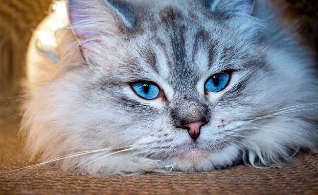 chats siberien